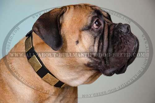 Superb Leather Dog Collar for Bullmastiff with Massive Brass Plates