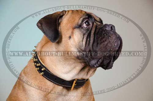 Leather Collar for Bullmastiff Spiked Comfortable