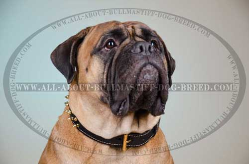 Leather Dog Collar Exclusive