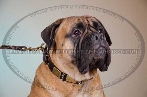 Leather Collar for Bullmastiff highly comfortable
