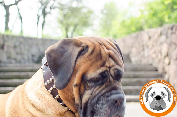 Bullmastiff leather collar wide with riveted studs for walking