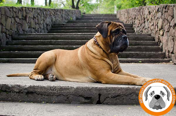 Long servicing accessory for awesome Bullmastiff Breed