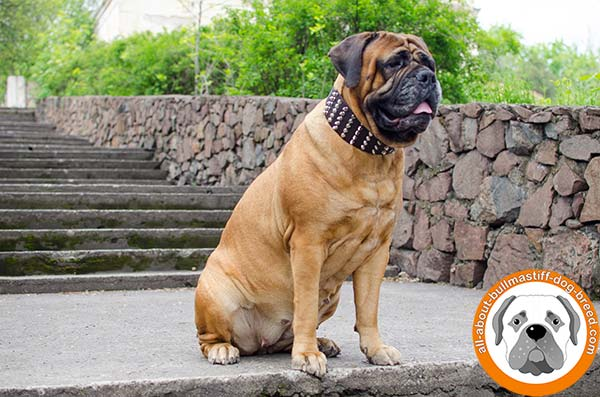 Gorgeous Bullmastiff leather decorated collar with strong hardware