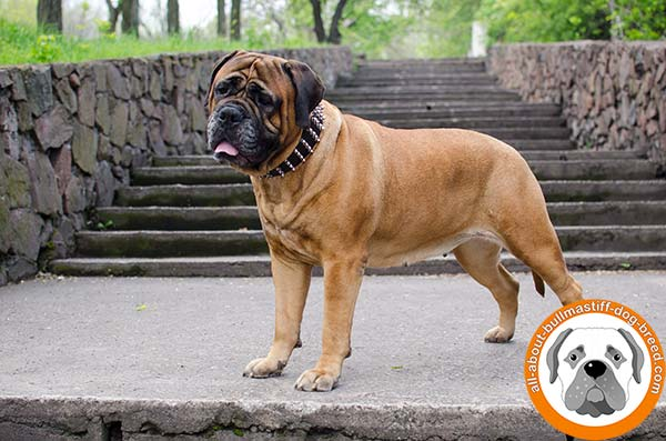 Fashionable Bullmastiff leather collar for awesome Bullmastiff