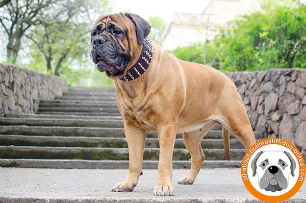 First class leather Bullmastiff collar for walking