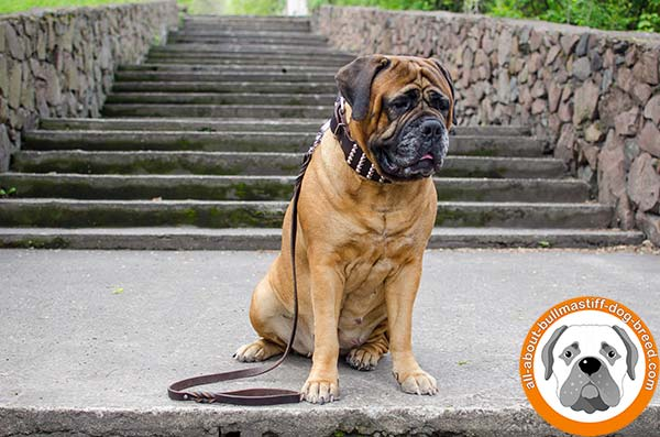 Wide studded Bullmastiff collar with nickel fittings