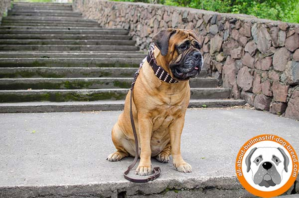 Beautiful studded leather collar for powerful Bullmastiff