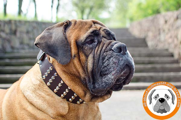 Awesome leather Bullmastiff collar for everyday walking