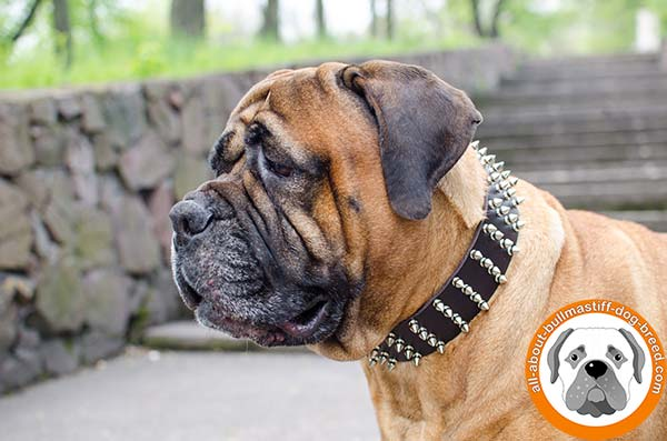 Luxury leather spiked Bullmastiff collar for walks