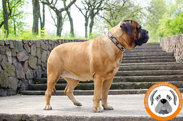 Adorned Bullmastiff leather collar for different activities
