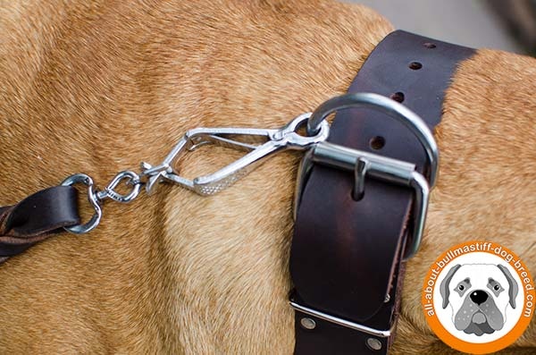 Studded leather Bullmastiff collar for walking in style