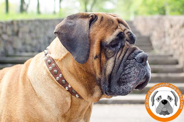 Professional leather accessory with fancy decoration for Bullmastiff