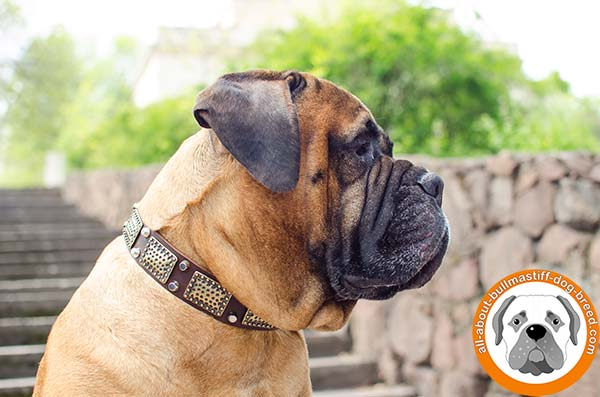 Awesome decorated Bullmastiff leather collar for everyday use