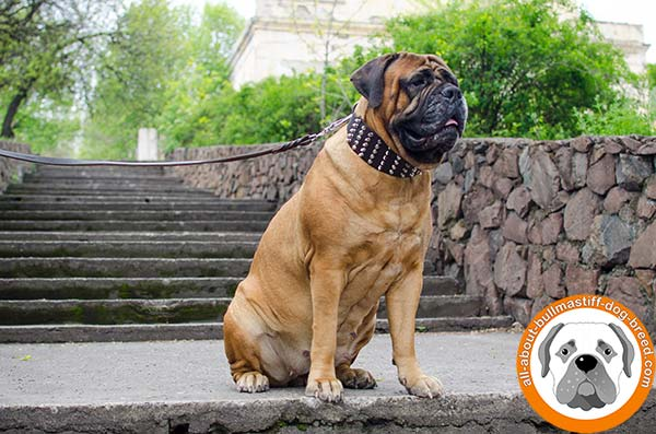 Deluxe leather collar for walking and training with Bullmastiff