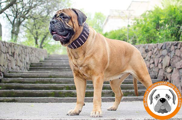 Super wide and strong leather Bullmastiff collar