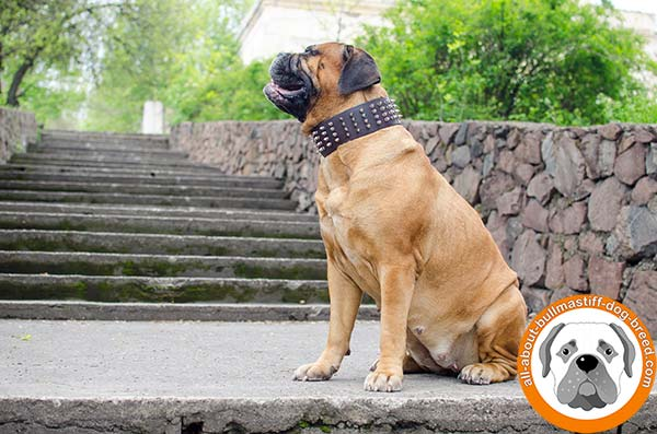 Perfect looking Bullmastiff collar for comfortable walks