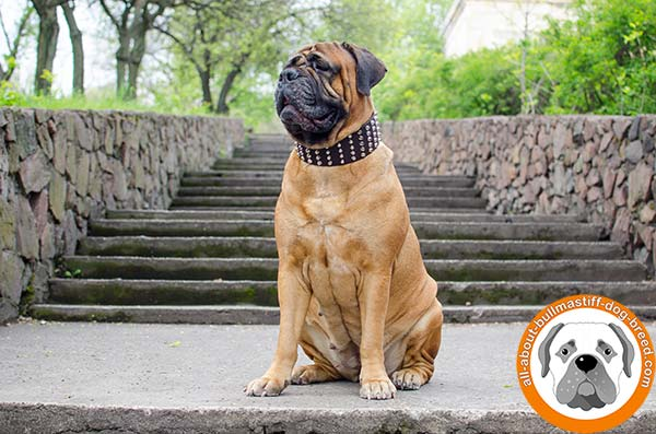 Fashionable design leather collar for Bullmastiff Breed