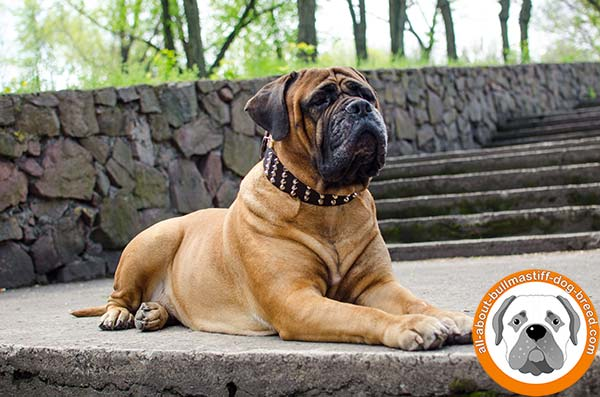 Glamorous Bullmastiff collar for daily walking