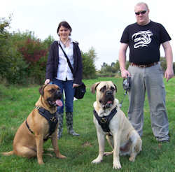 bullmastiff dog harness