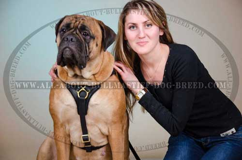 Comfortable Leather Dog Harness for Bullmastiff Effective Training