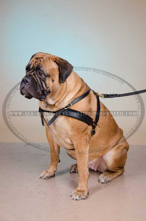 Light-Weight Leather Bullmastiff Harness for Easy Tracking and Pulling