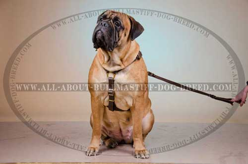Light-Weight Leather Dog Harness for Bullmastiff Tracking