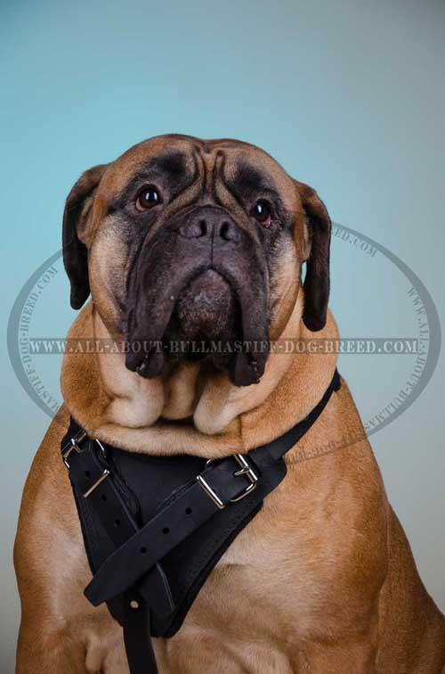 Comfortable Leather Dog Harness for Bullmastiff with Padded Chest Plate