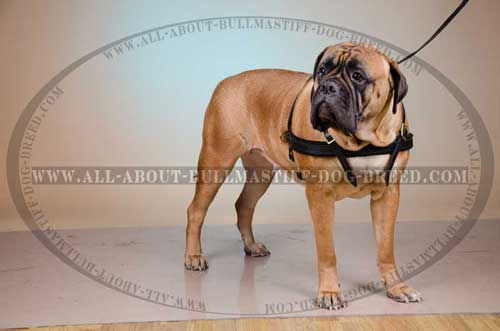 Leather Bullmastiff Harness with Soft Felt Padded Front Strap