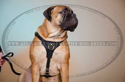 Quality Leather Bullmastiff Harness with Comfy Y-Shaped Chest Plate