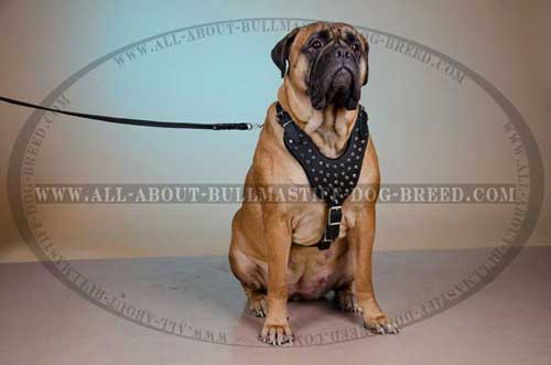 Leather Harness for Bullmastiff with adjustable straps