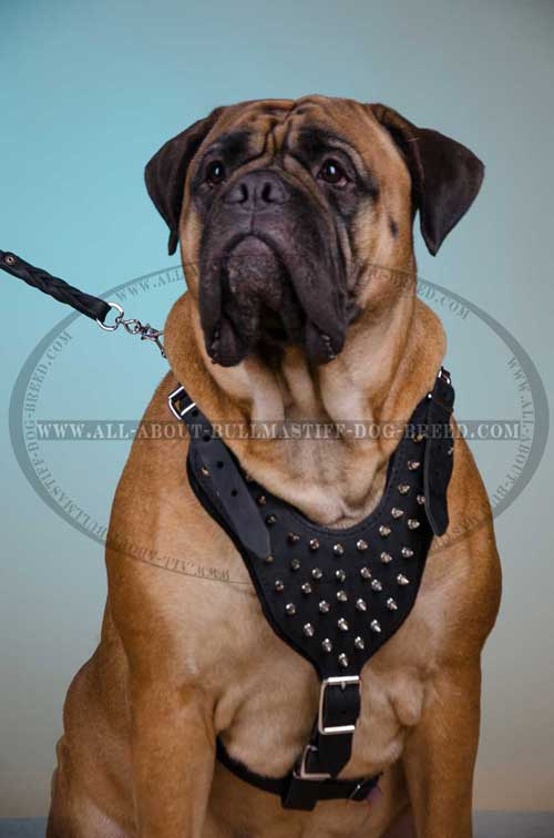 Leather Harness for Bullmastiff lightweight