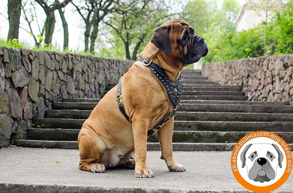 Super strong and soft leather adorned harness for Bullmastiff walks