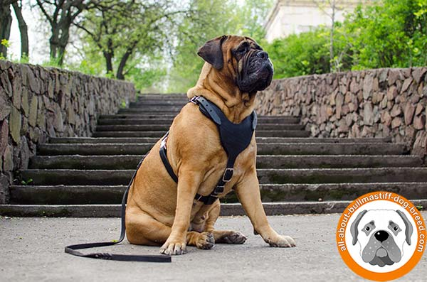 Practicable leather Bullmastiff harness with