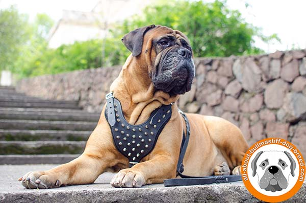 Super durable leather Bullmastiff harness with spikes