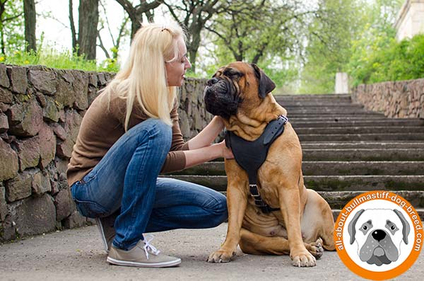 Extra strong and soft leather harness for Bullmastiff Breed