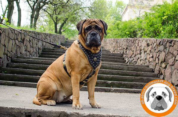 Professional studded leather harness for Bullmastiff walking
