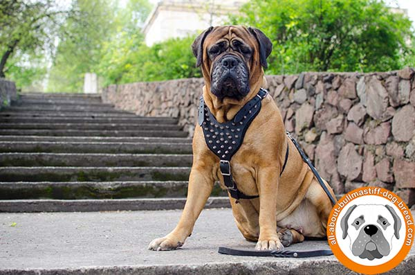 Wonderful Bullmastiff leather harness spikes