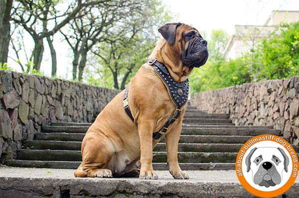 Leather Bullmastiff harness with smart design