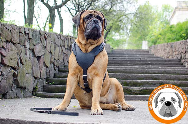 Wonderful leather Bullmastiff harness for everyday walks