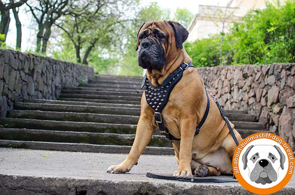 Comfortable Bullmastiff leather harness for any purpose