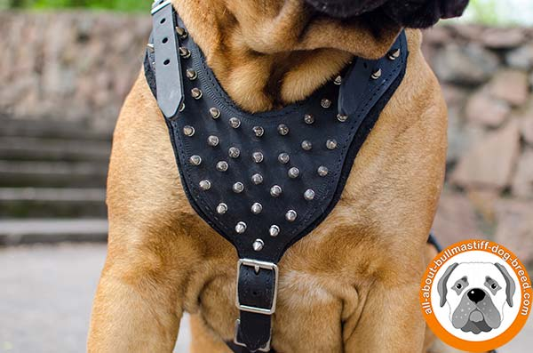 Fancy decorated leather Bullmastiff harness for daily walks