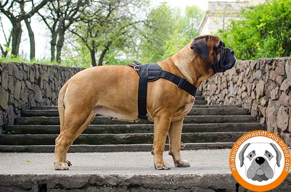Any weather Bullmastiff nylon harness with wide straps