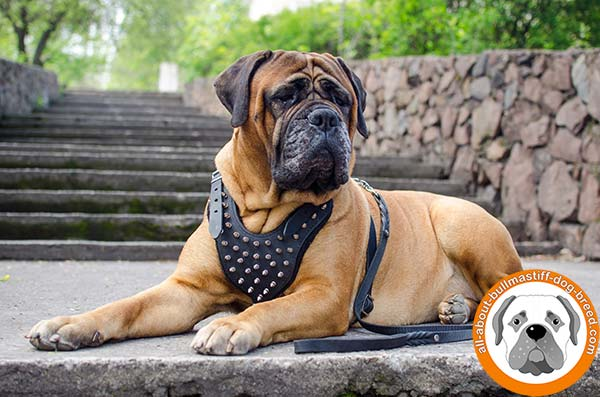 Extraordinary leather Bullmastiff harness with wide straps