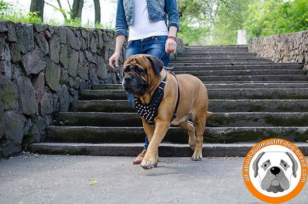Spiked leather Bullmastiff harness for any kinds of activities