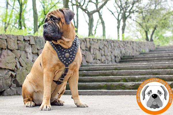 First class decorated leather Bullmastiff harness