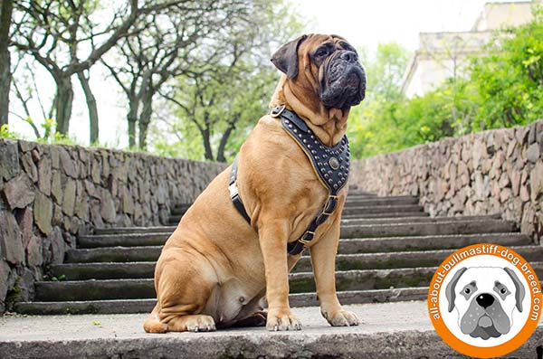 Awesome leather Bullmastiff harness for everyday walking