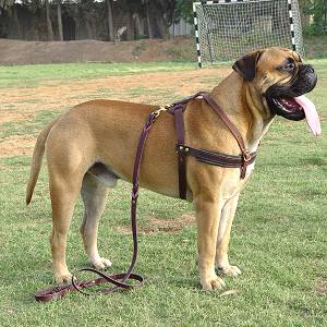 Tracking/Pulling Leather Dog Harness For Bullmastiff