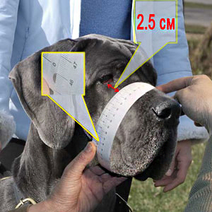 How to make the measurements of your Bullmastiff
