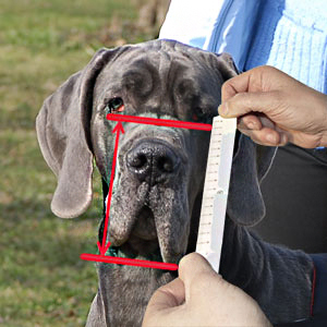 How to size your Bullmastiff