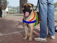 bullmastiff breed dog harness size